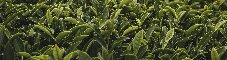 Té verde de origen, aromatizados, desteinados.